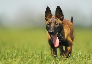 Malinois in the sun