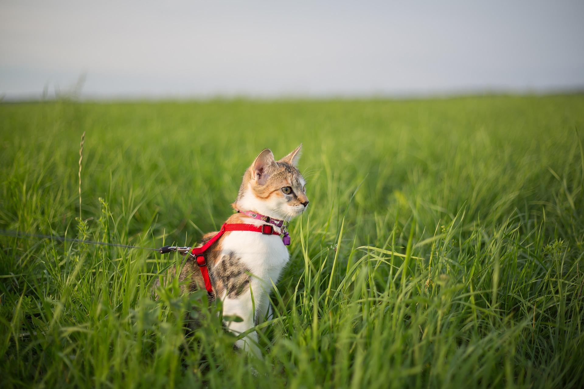 Cat on a Leash in a Field